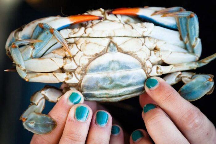 beautiful blue crab of the Chesapeake
